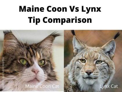 Maine Coon vs Lynx Tips