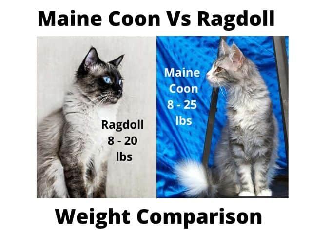 Maine Coon Vs Ragdoll Weight Comparison