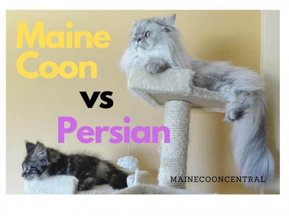 Maine Coon vs Persian Cat